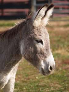 Available for Adoption | Little Longears Miniature Donkey Rescue