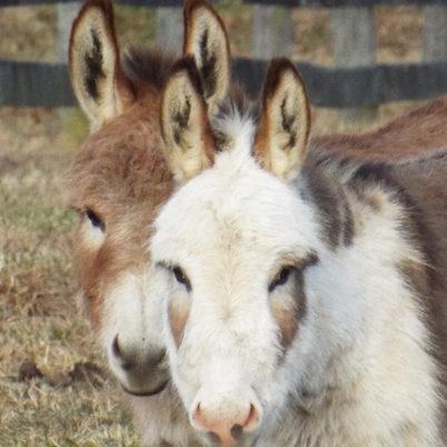Little Longears Miniature Donkey Rescue
