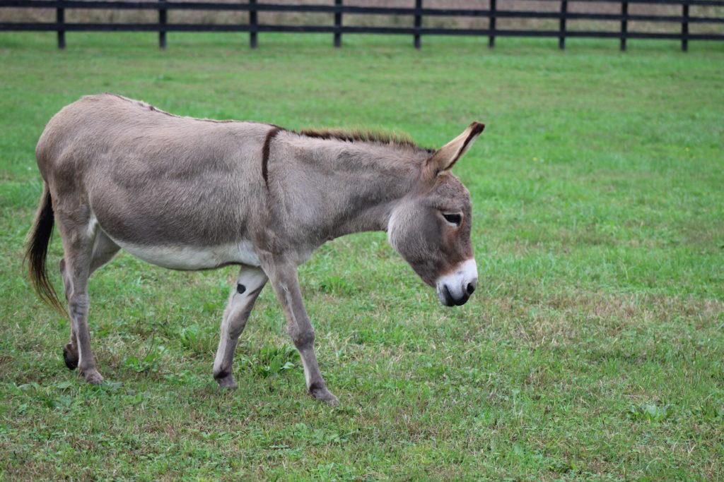Jenny – Little Longears Miniature Donkey Rescue
