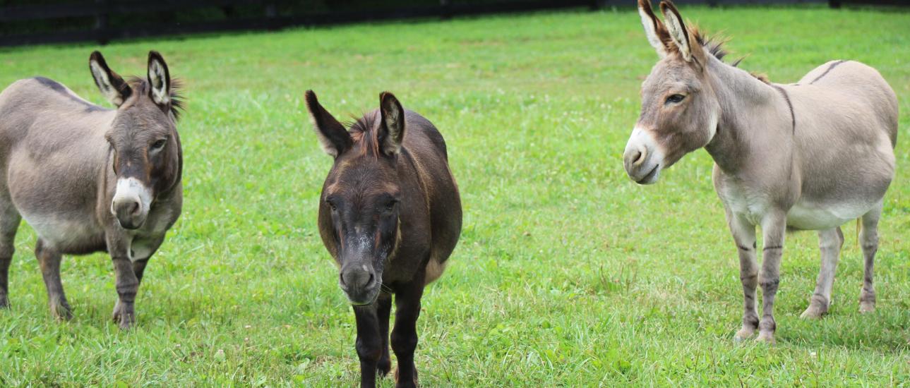 The Mini Donkey